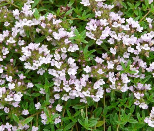 Produktbild Thymus herba-barona var. citriodora