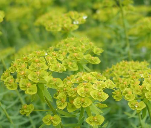 Produktbild Euphorbia seguieriana ssp. niciciana