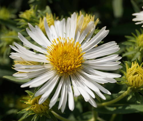 Produktbild Aster novae-angliae 'Herbstschnee'