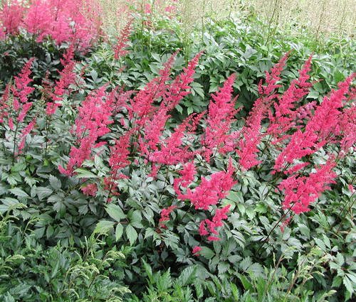 Produktbild Stauden zu Rhododendron