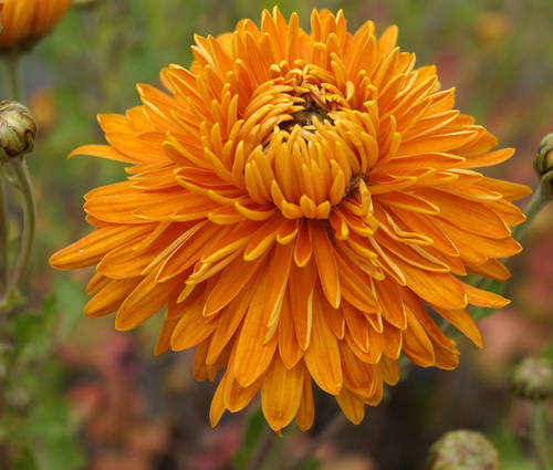 Produktbild Chrysanthemum Indicum-Hybride 'Ordensstern'