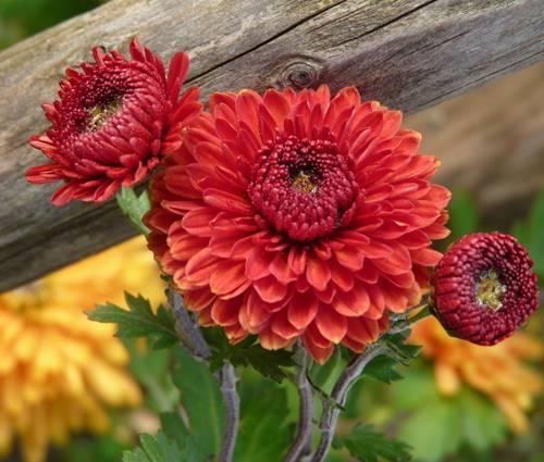 Produktbild Chrysanthemum Indicum-Hybride 'Rehauge'