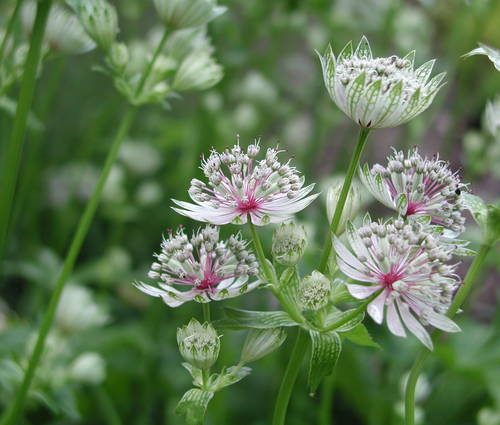 Produktbild Astrantia major