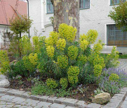 Produktbild Euphorbia characias ssp. wulfenii