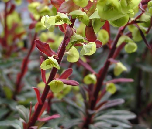 Produktbild Euphorbia amygdaloides 'Purpurea'