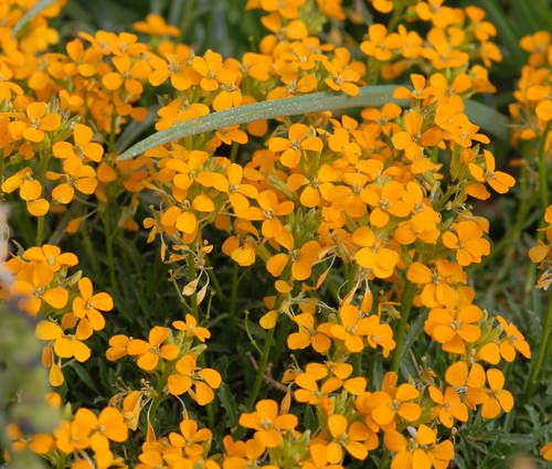 Produktbild Erysimum pulchellum 'Altgold'