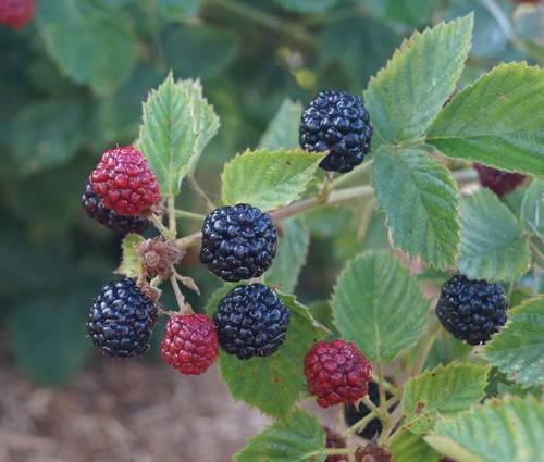 Produktbild Rubus fruticosus 'Asterina'