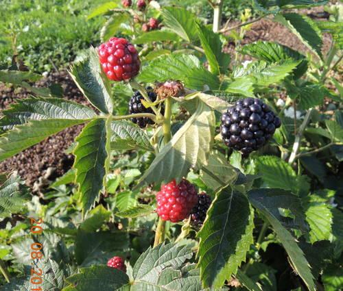 Produktbild Rubus fruticosus 'Navaho'