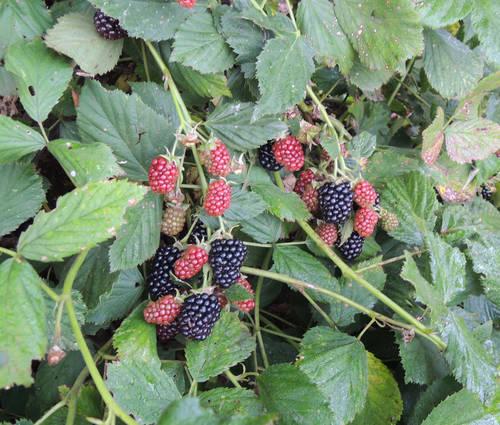 Produktbild Rubus fruticosus 'Black Satin'