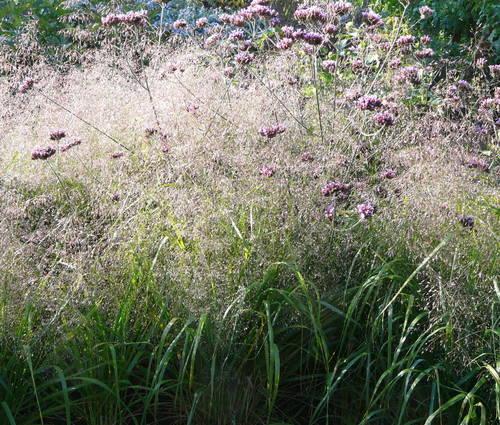 Produktbild Eragrostis trichodes 'Bend'