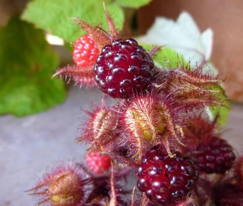 Produktbild Rubus phoenicolasius