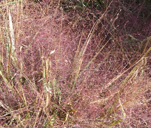 Produktbild Eragrostis spectabilis 'Purpurflirren'