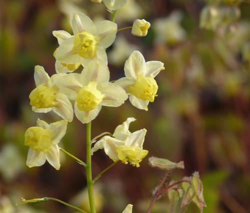 Produktbild Epimedium x versicolor 'Sulphureum'