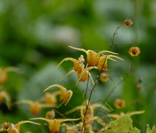 Produktbild Epimedium Hybride 'Amber Queen'
