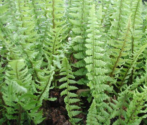Produktbild Dryopteris affinis 'Pinderi'