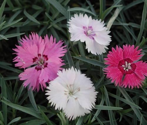 Produktbild Dianthus plumarius 'Nanus Sweetness'