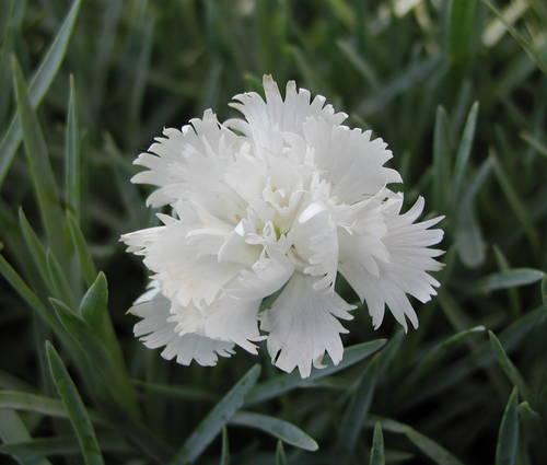 Produktbild Dianthus plumarius 'Maischnee'