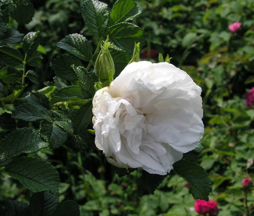 Produktbild Rosa rugosa 'Blanc Double de Coubert'