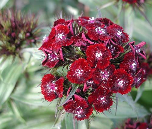 Produktbild Dianthus barbatus 'Nigrescens'