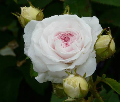 Produktbild Rosa x alba 'Felicité Parmentier'