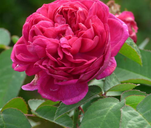 Produktbild Rosa 'Rose de Resht'