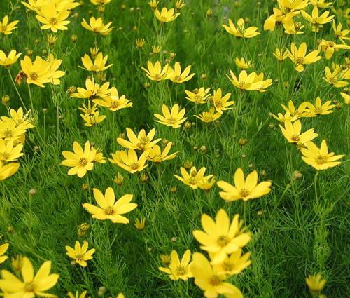 Produktbild Coreopsis verticillata 'Grandiflora'