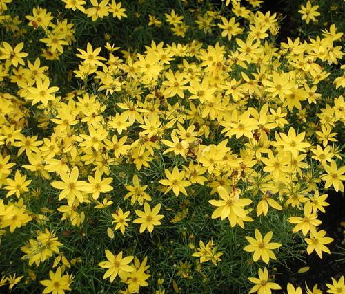 Produktbild Coreopsis verticillata 'Zagreb'