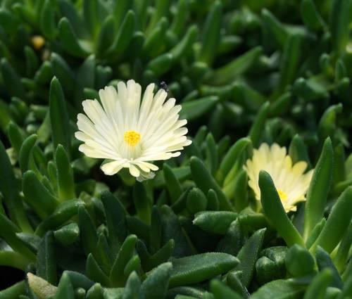 Produktbild Delosperma basuticum 'White Nugget'