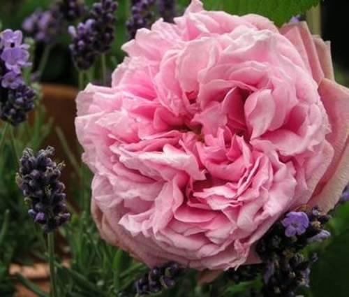 Produktbild Rosa 'Comte de Chambord'