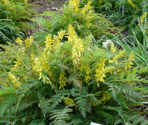 Produktbild Corydalis cheilanthifolia