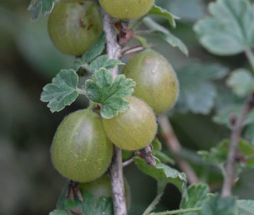 Produktbild Ribes uva crispa 'Mucurines'
