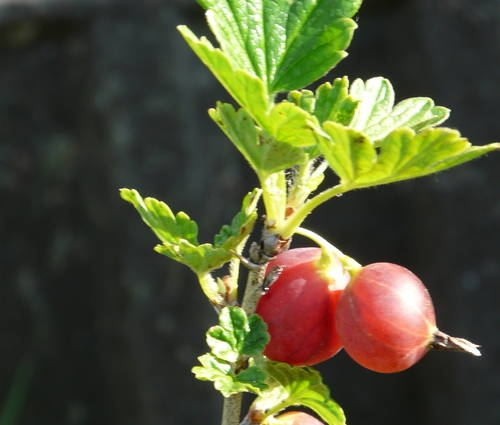 Produktbild Ribes uva crispa 'Hinnonmäki rot'