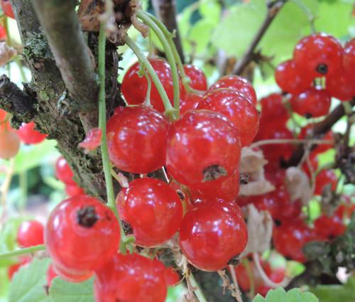 Produktbild Ribes rubrum 'Jonkheer van Tets'