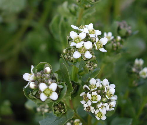Produktbild Cochlearia officinalis