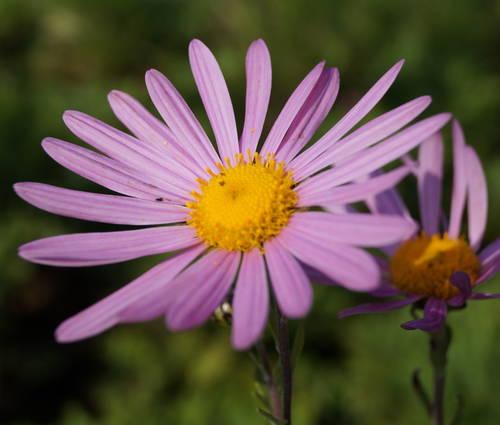 Produktbild Chrysanthemum Zawadskii-Hybride 'Clara Curtis'