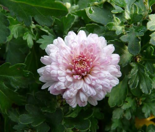 Produktbild Chrysanthemum Indicum-Hybride 'Julia'