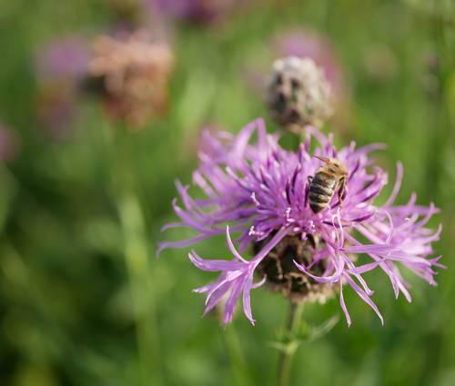 Produktbild Centaurea scabiosa