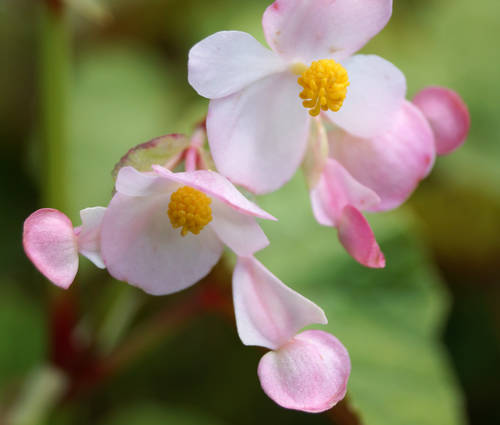 Produktbild Begonia grandis ssp. evansiana