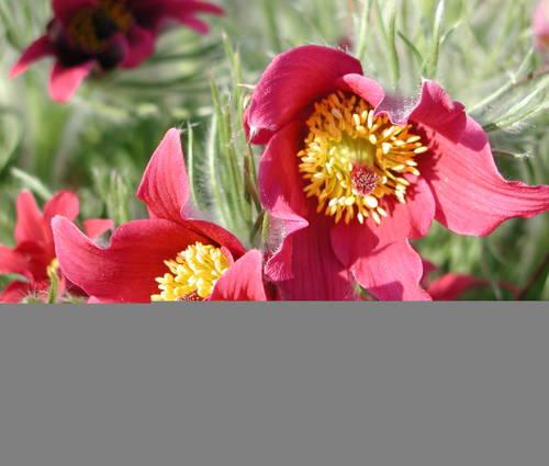 Produktbild Pulsatilla vulgaris 'Rote Glocke'