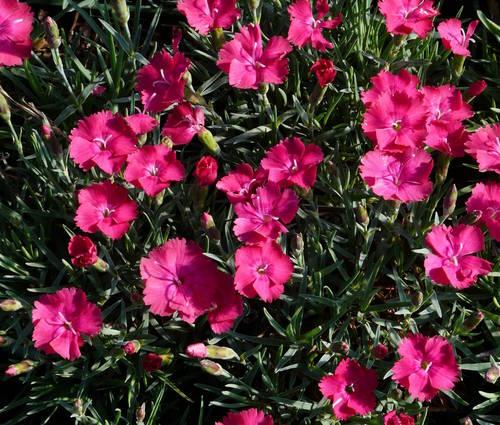 Produktbild Dianthus gratianopolitanus 'Badenia'