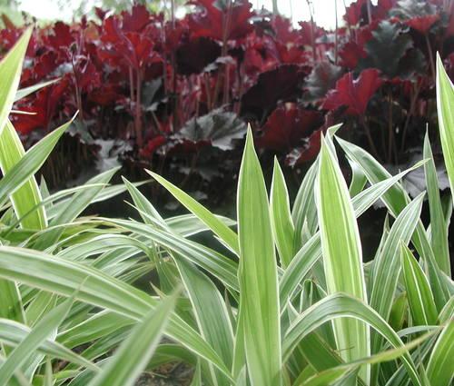 Produktbild Carex siderosticta 'Variegata'