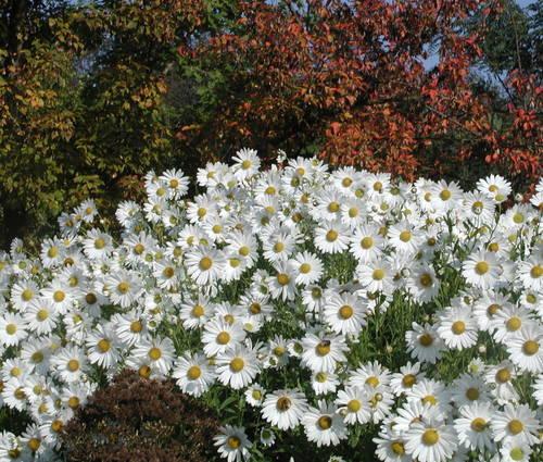 Produktbild Leucanthemella serotina 'Herbststern'