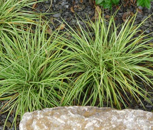 Produktbild Carex ornithopoda 'Variegata'