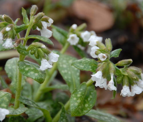 Produktbild Pulmonaria officinalis 'Ice Ballet'