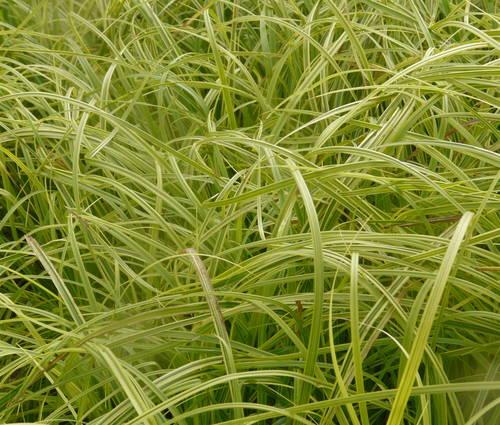 Produktbild Carex dolichostachya 'Gold Fountains'