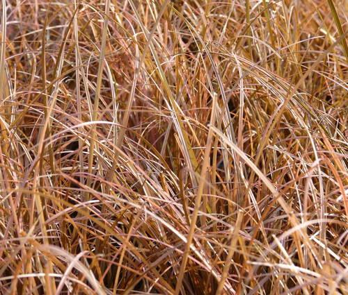 Produktbild Carex comans 'Bronze Form'