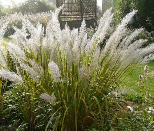 Produktbild Calamagrostis brachytricha