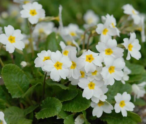 Produktbild Primula x pruhoniciana 'Schneewittchen'