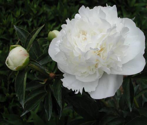 Produktbild Paeonia lactiflora 'Duchesse de Nemours'