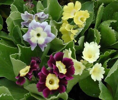 Produktbild Primula x pubescens